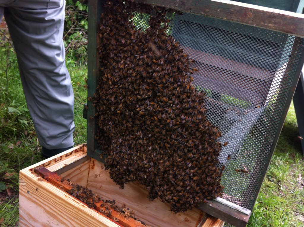 Moving the bees off the base of the hive into the 'nuc'