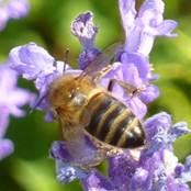 NRI honey bee