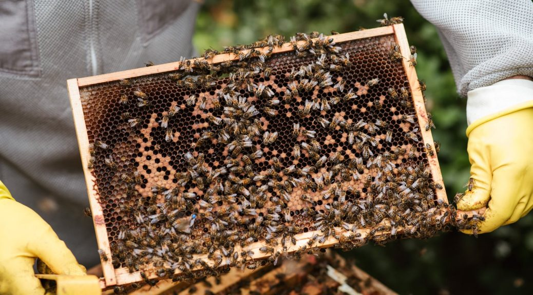 crop farmer showing honeycomb with bees